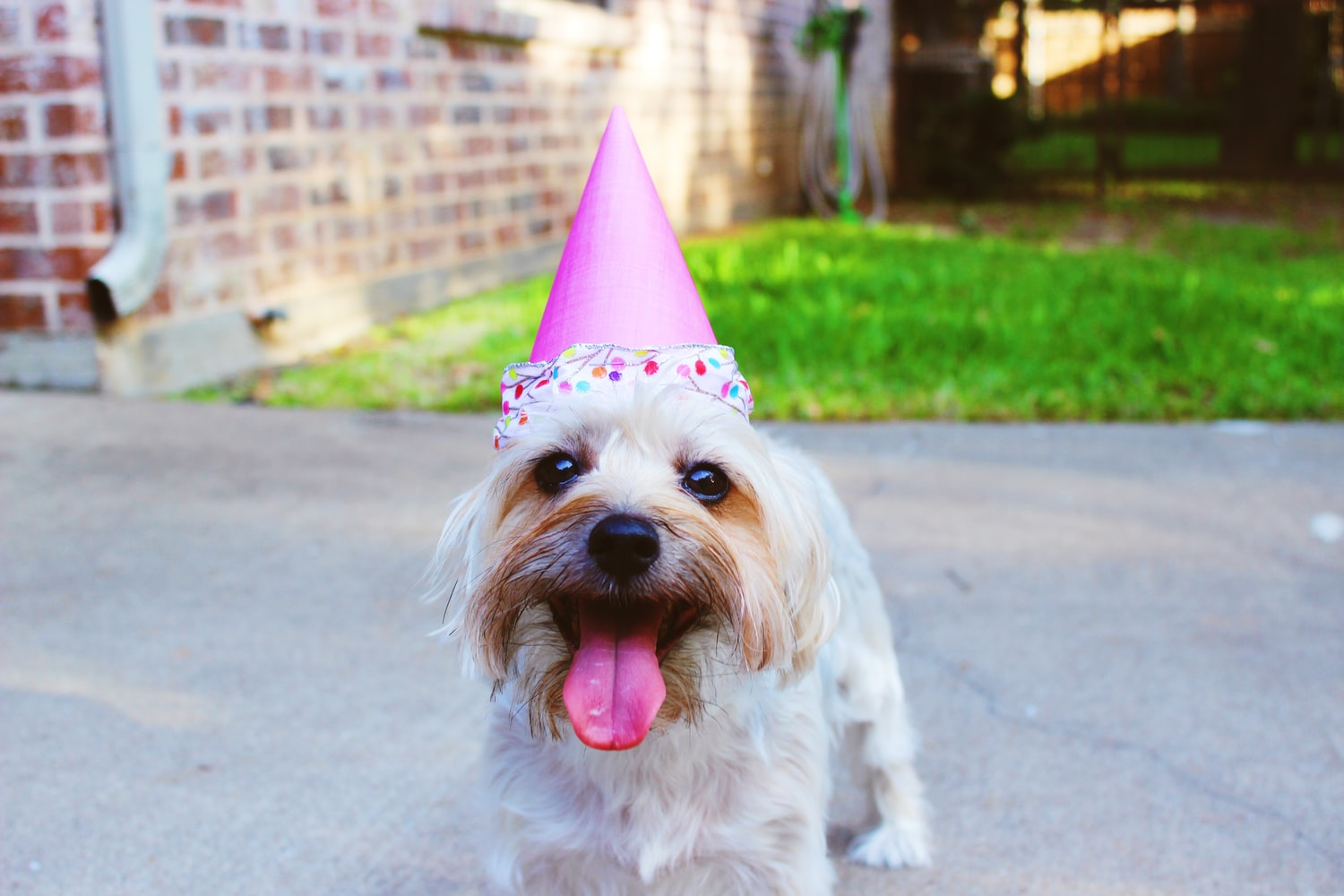 Puppy with a party hat